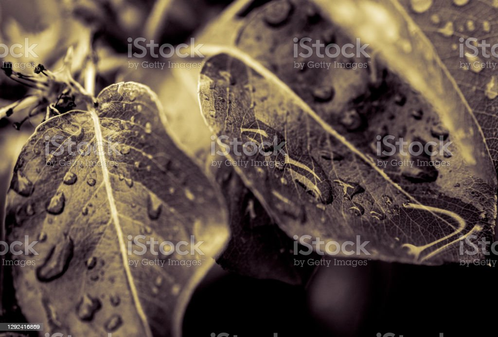 Apple leaf An apple leaf with rain droplets on the surface. 2020 Stock Photo