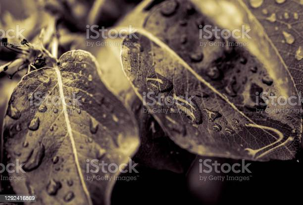 Apple Leaf Stock Photo - Download Image Now