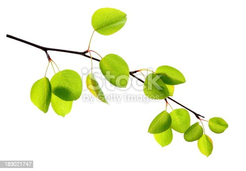 Apple leafs isolated on white.