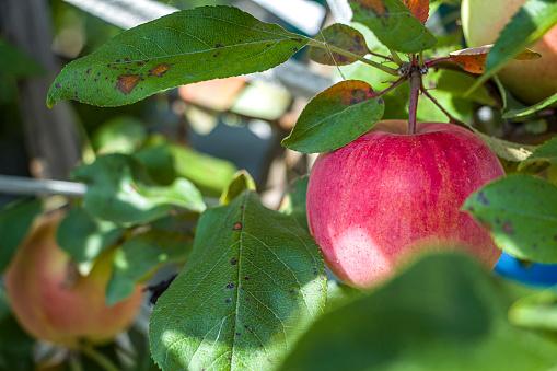 Apple leaves disease, Apple scab, Brown spot (phyllosticosis)