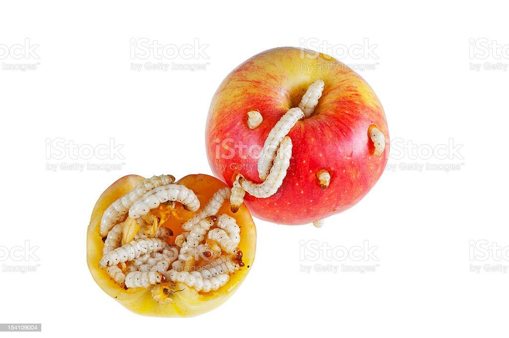 Apple maggots. - Photo