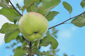 Ripe apple and rotten apple on the tree branch.