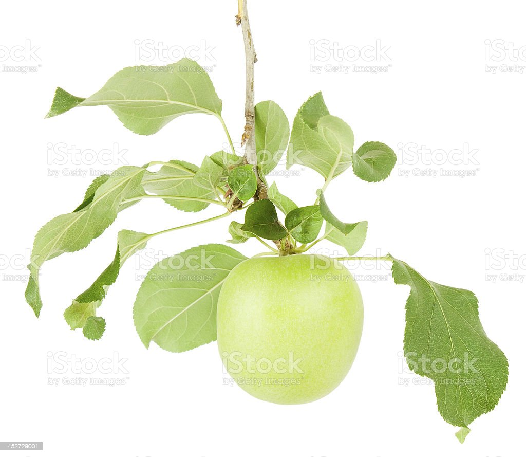 apple auf einem Ast – Foto