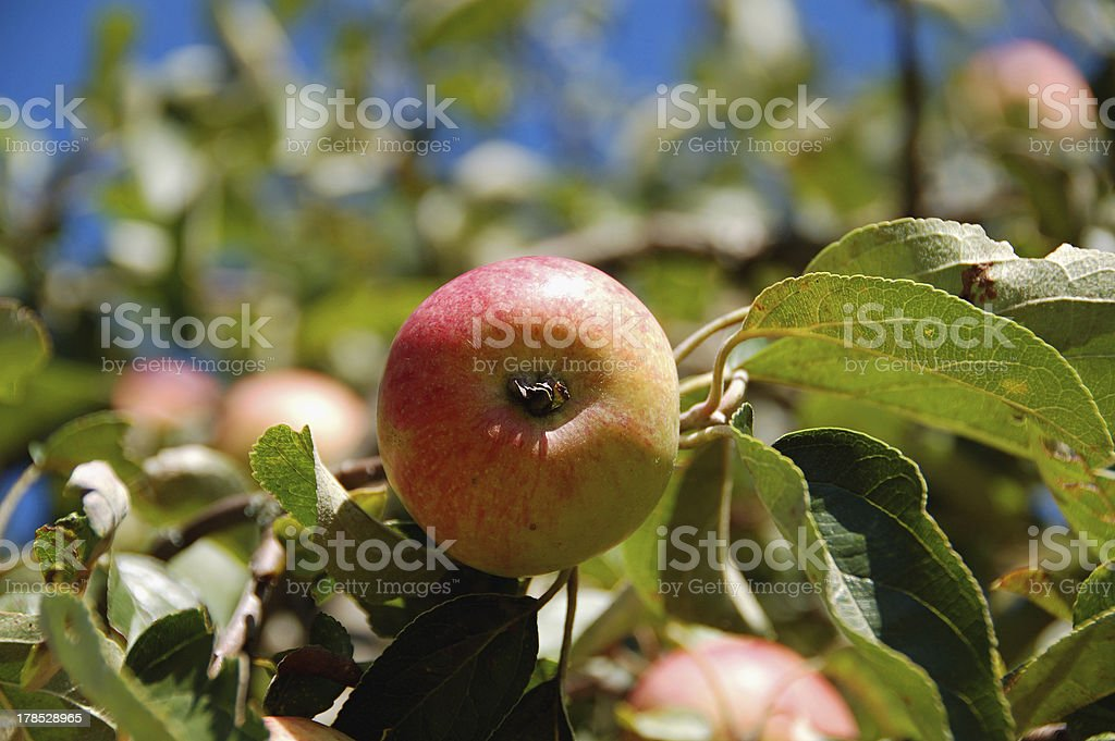 apple on a leafy branch stock photo