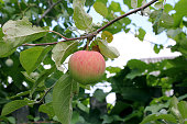 Apple on an apple tree branch in the garden