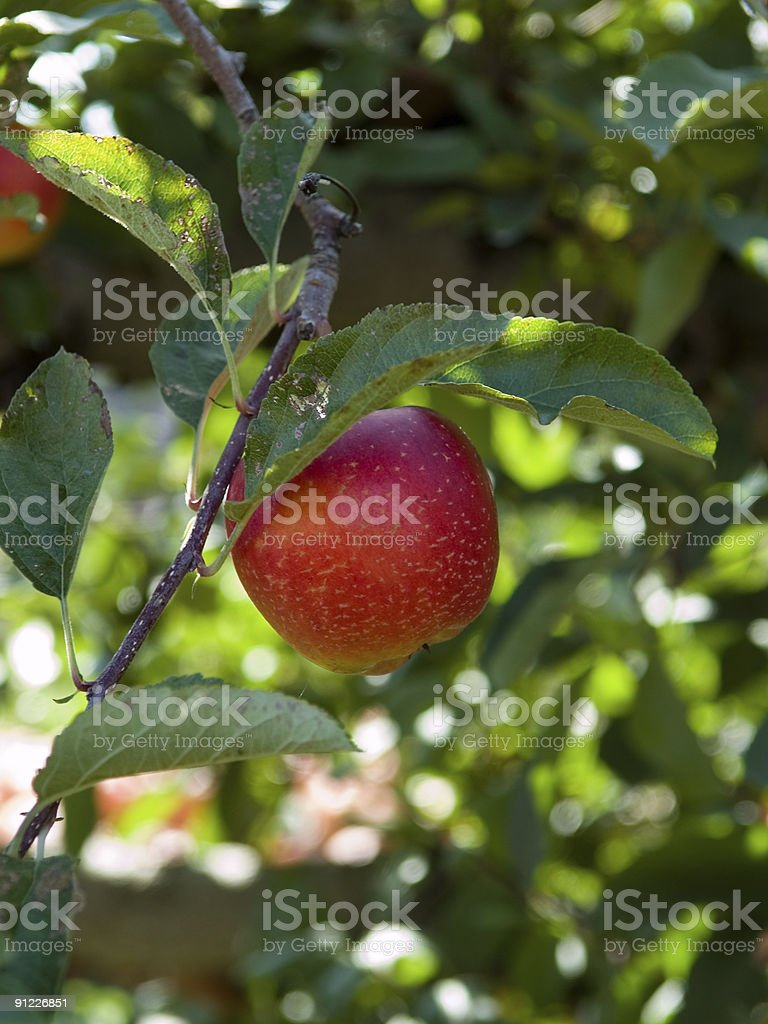Apple on Branch (vertical) royalty-free stock photo
