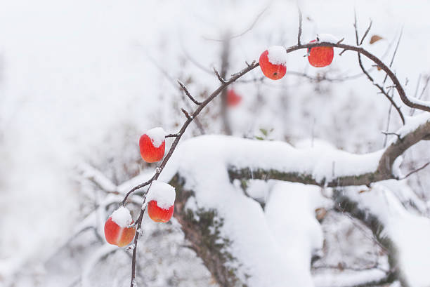 apple on snowy day - hope - fotografias e filmes do acervo