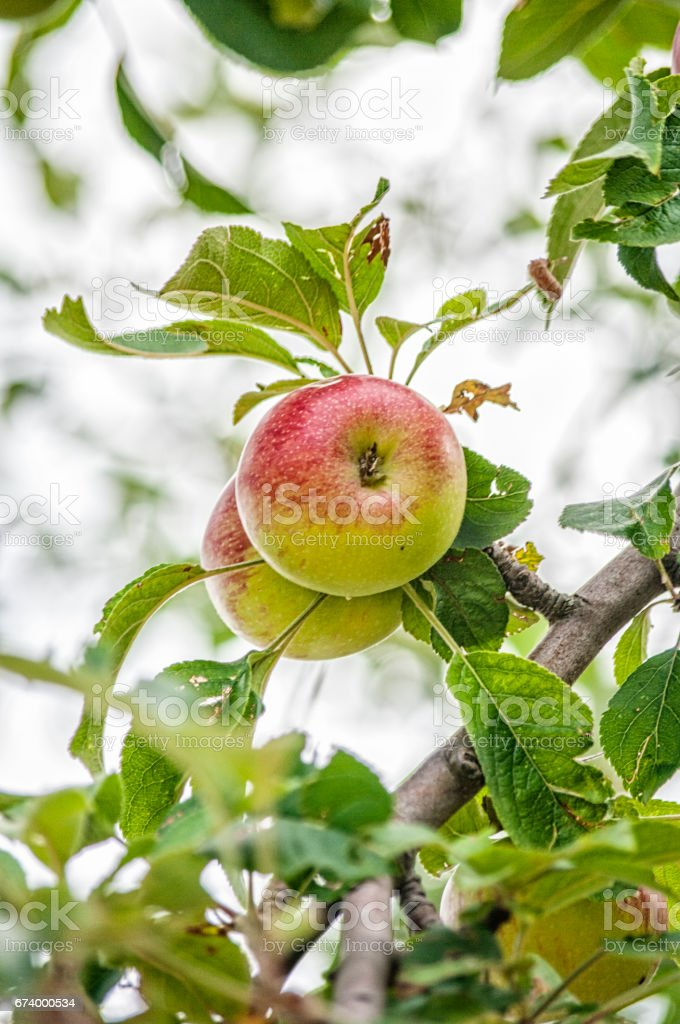 Apple on the brunch at summer garden, close-up royalty-free stock photo