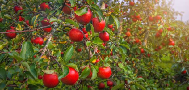 apple on the tree - maturo foto e immagini stock