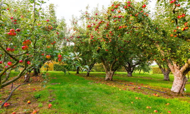 Apple on trees in orchard in fall season stock photo