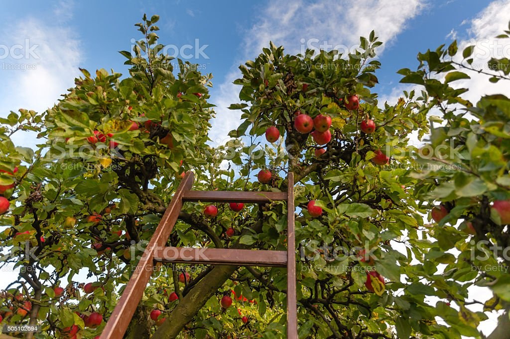 Apple Orchad, fresh Apples hanging on the tree stock photo