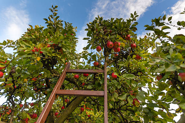 Apple Orchad, fresh Apples hanging on the tree Apple Orchad, fresh Apples hanging on the tree apple orchard stock pictures, royalty-free photos & images