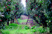 Picture of an Apple fruits in october ready for harvesting in orchard