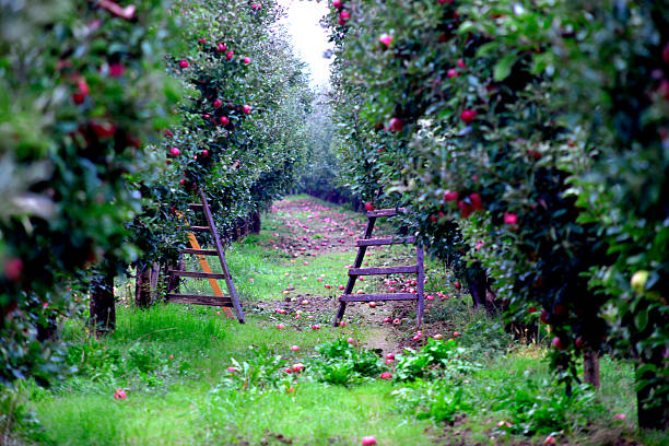 Apple orchar with ladders ready for harvesting Picture of an Apple fruits in october ready for harvesting in orchard apple orchard stock pictures, royalty-free photos & images