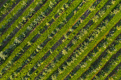 Aerial view of apple orchard with rows of apple trees in autumn, Malopolska Province, Poland.