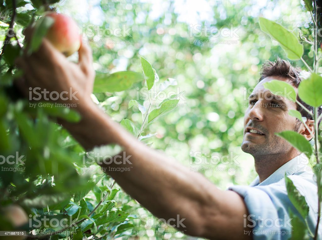 Apple orchard and harvesting. royalty-free stock photo