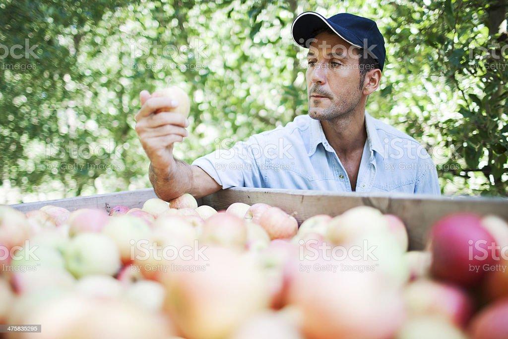 Apfelgarten und Ernten. – Foto