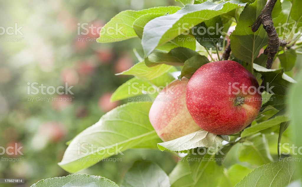 apple orchard at harvest time stock photo
