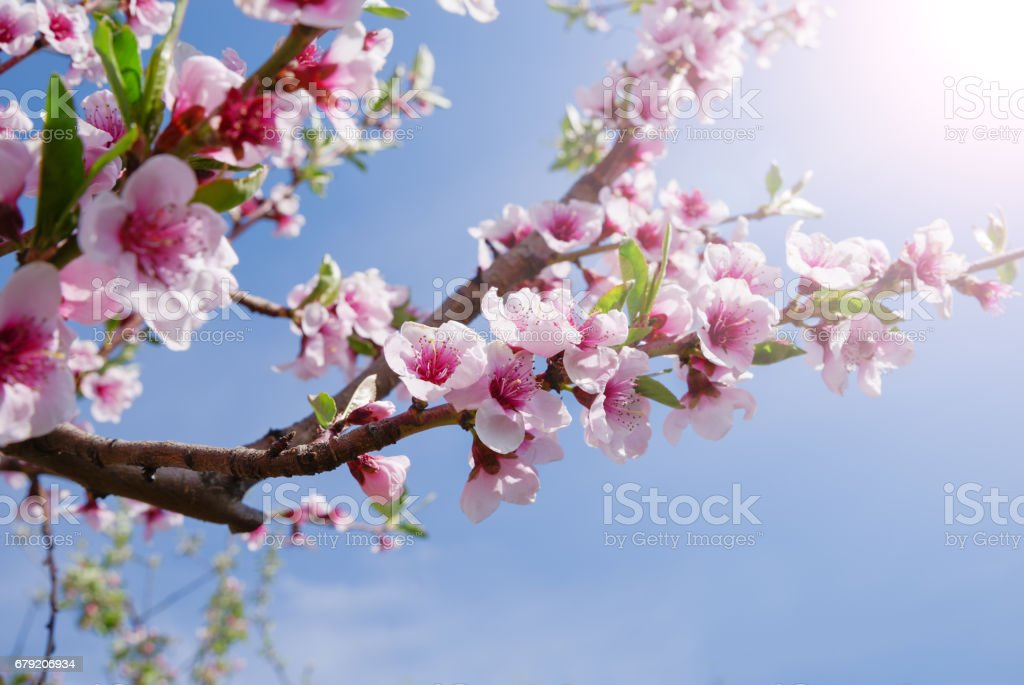 Apple orchard. Blossom tree over nature background. Spring flowers. Background stock photo