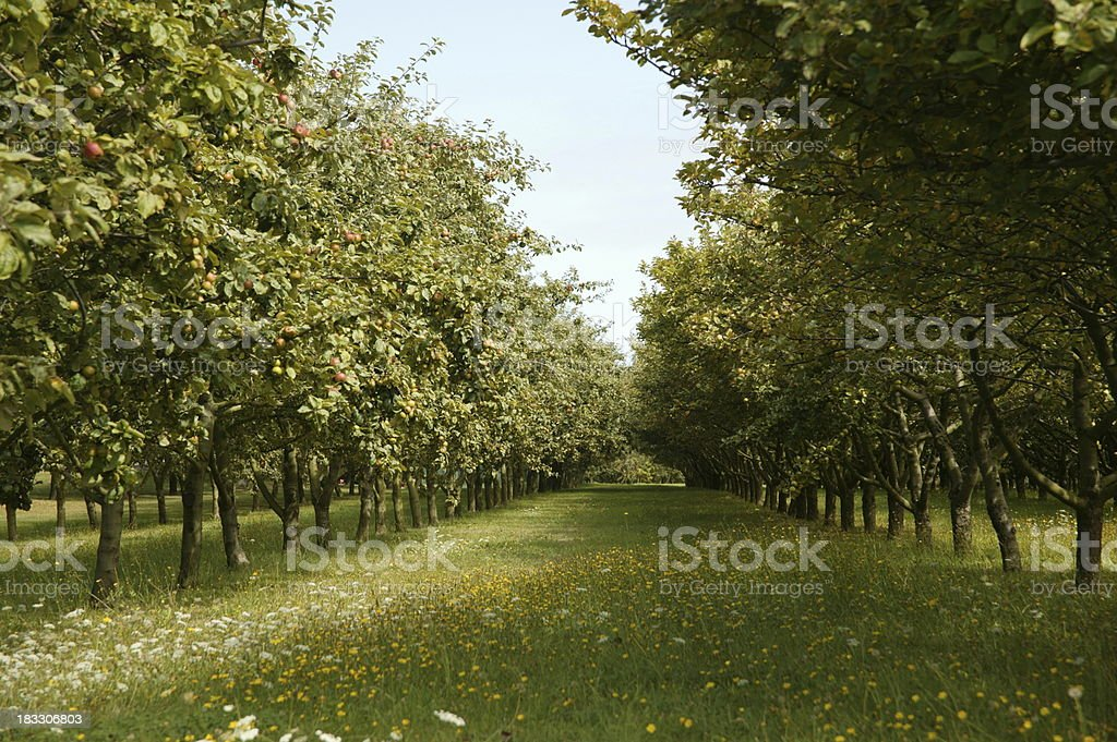 Apple Orchard, Brittany stock photo
