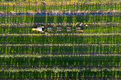 Farmers harvesting apples in autumn. Tractor with trailers full of apples stands between rows of apple trees, aerial view.