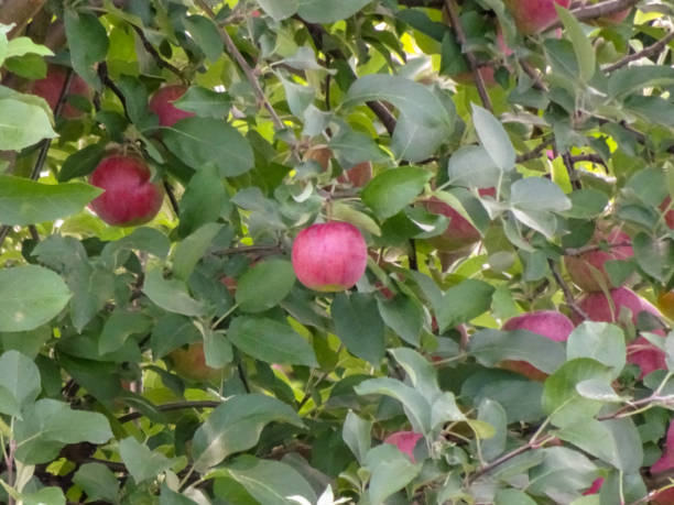 Apple orchard full of apples ready to be picked in Marion New York stock photo