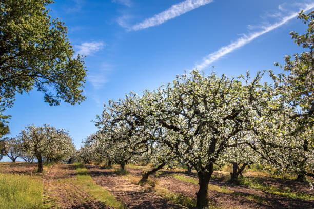 Apple orchard in bloom stock photo