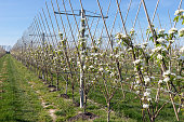 Apple orchard garden in springtime with rows of trees with blossom