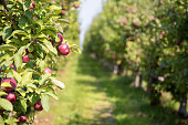 Apple orchard in summer with selective focus on one piece of fruit with boken background. In the countryside of Quebec Province, Canada.