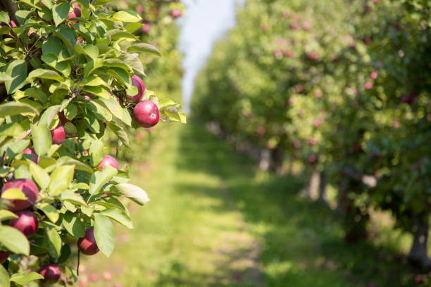 Apple orchard in summer Apple orchard in summer with selective focus on one piece of fruit with boken background. In the countryside of Quebec Province, Canada. apple orchard stock pictures, royalty-free photos & images