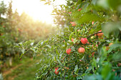 Natural fresh apples in orchard. Ripe apples harvest.