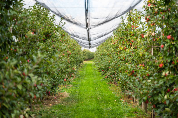 Apple orchard in the countryside stock photo
