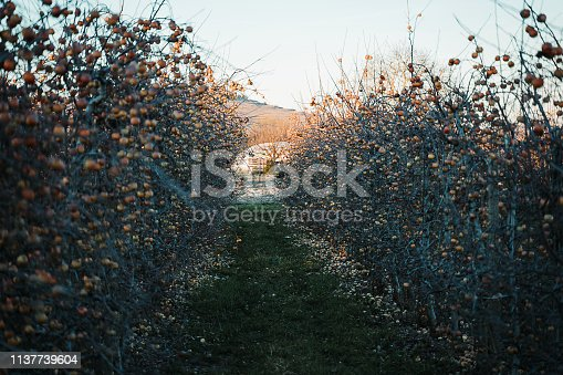 613534346istockphoto Apple orchard in the spring 1137739604