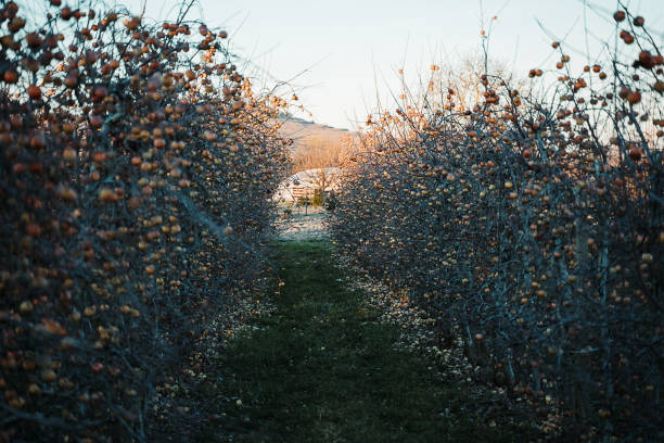 Apple orchard in the spring stock photo