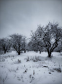 Rows of old snow covered apple trees in the winter orchard