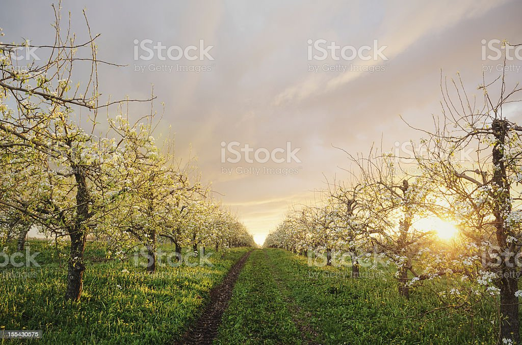 Apple Orchard in Twighlight royalty-free stock photo