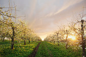 The sun sets behind a Nova Scotian apple orchard in bloom.