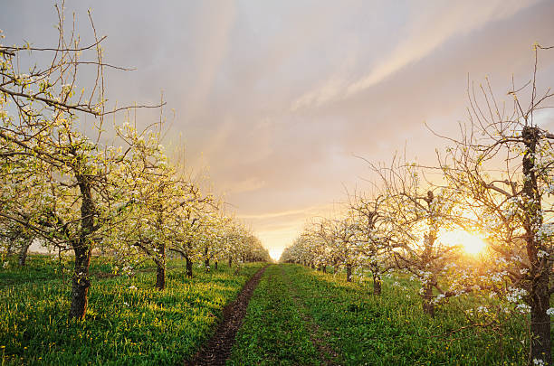 Apple Orchard in Twighlight The sun sets behind a Nova Scotian apple orchard in bloom. apple orchard stock pictures, royalty-free photos & images