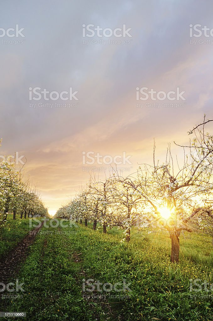 Apple Orchard in Twighlight stock photo