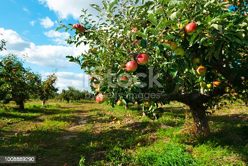 ripe apples hanging on branch