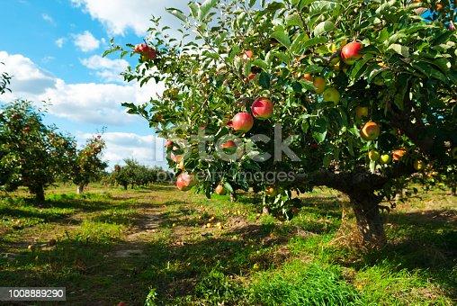 istock Apple orchard 1008889290