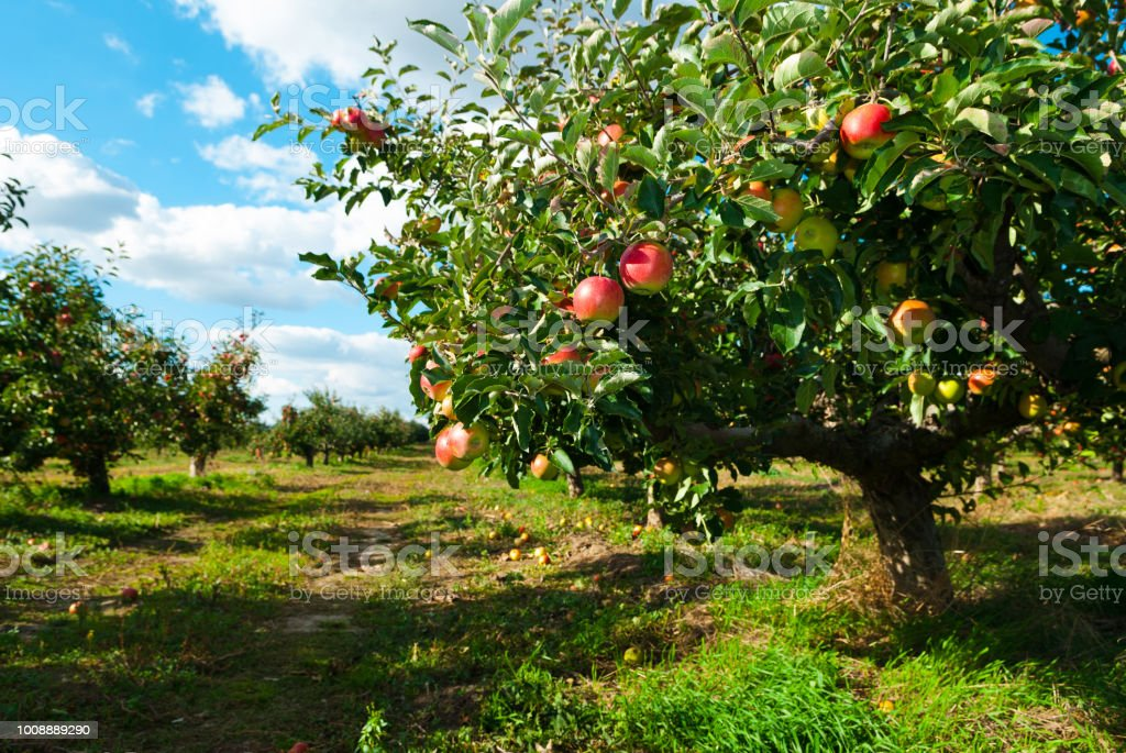 Apple orchard – Foto