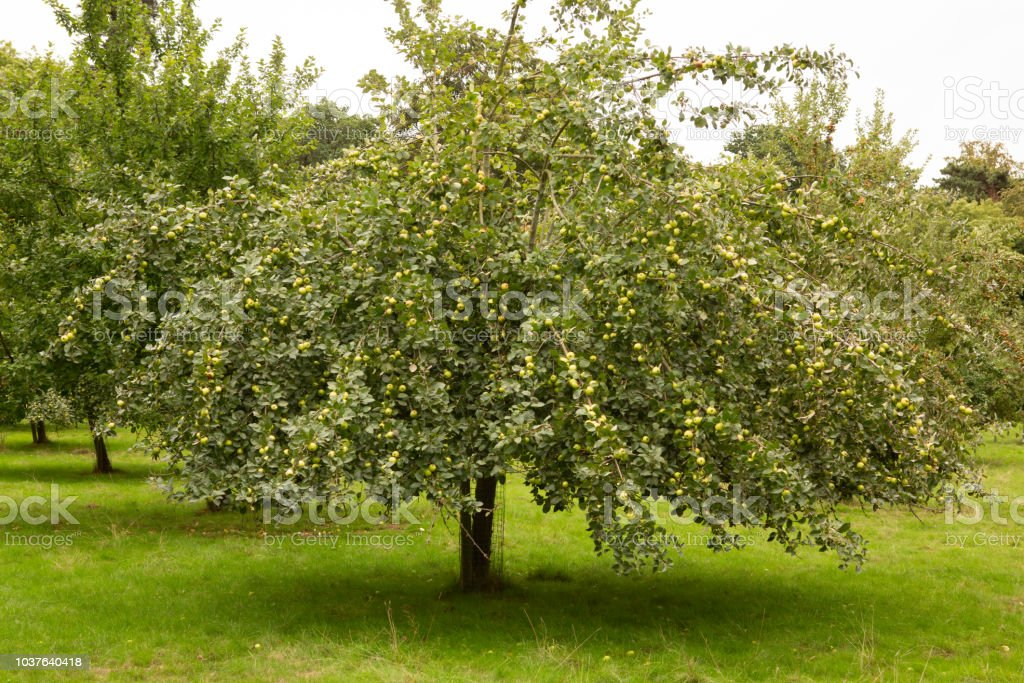 Apple orchard. stock photo