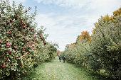 apple, orchard, tree, apple tree, fruit