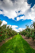 Apple orchard in Fredericton, New Brunswick