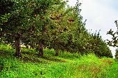 Apples ready for harvest.