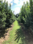 Picture of one row of an apple orchard.