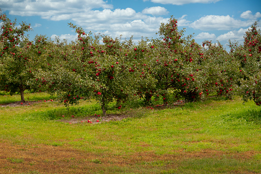 Apple tree farm fresh red apples ready to be picked. Fall harvest. Daytime rows of trees