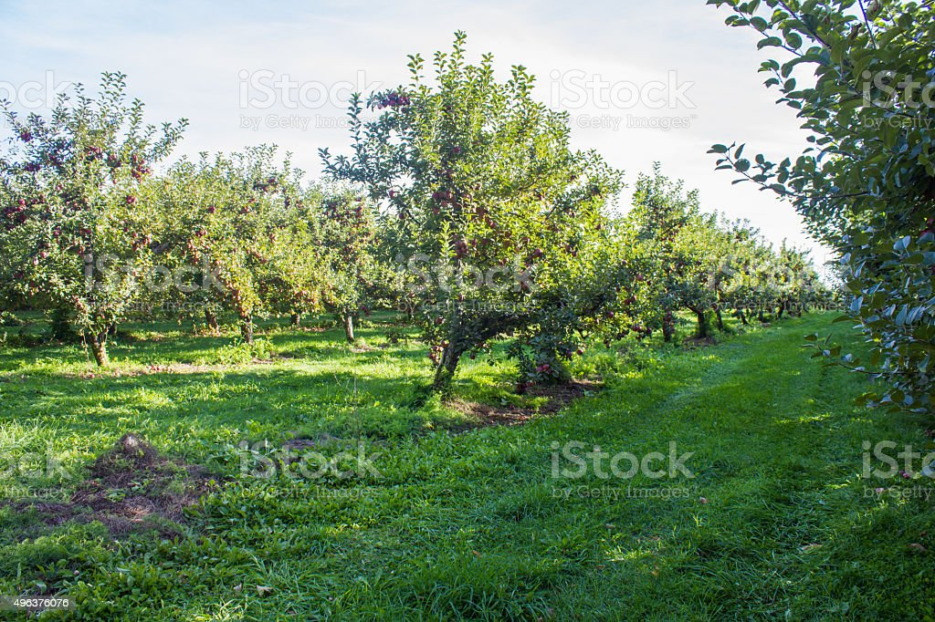 Apple Orchard - Royalty-free 2015 Stock Photo