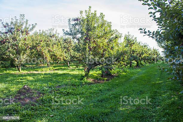 Apple Orchard Stock Photo - Download Image Now